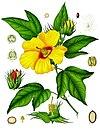 Gossypium barbadense - Köhler–s Medizinal-Pflanzen-068.jpg