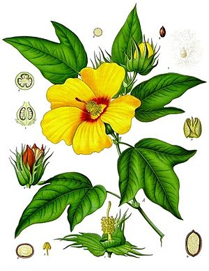 Gossypium barbadense - Botanical illustration by Franz Eugen Köhler, 1897