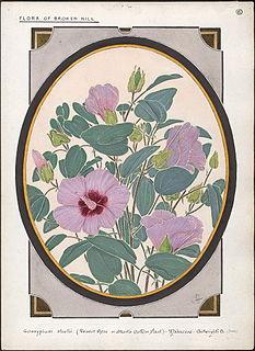 <i>Gossypium sturtianum</i> species of plant