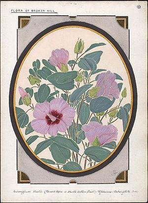 "Gossypium sturtianum - ""Gossypium sturtii"" by  Ebenezer Edward Gostelow (1867-1944)"