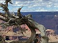 Grand Canyon South Rim with Tree.jpg