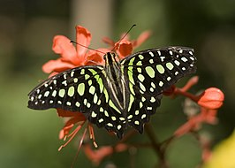 Graphium agamemnon tailed jay green spots 20071206.jpg