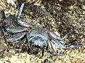 Grapsus tenuicrustatus-dorsal.jpg