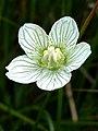 Grass-of-Parnassus (Parnassia palustris) - geograph.org.uk - 1425829.jpg