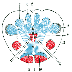 Sensory decussation - The figure shows the cross section of the closed medulla at the level of the sensory decussation. Number 9 illustrates the sensory decussation at the posterior column.