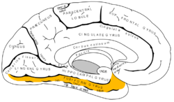 Gray727 fusiform gyrus.png
