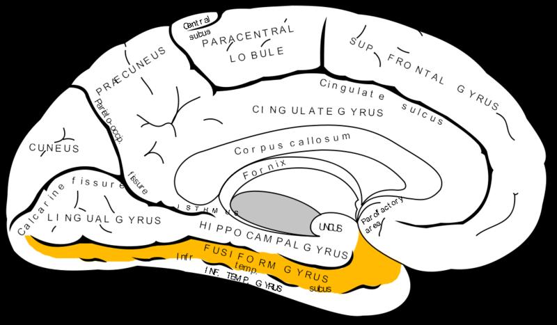 ILLUSTRATION : Gyrus fusiforme gauche (Source : Wikimedia)