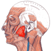 Gray — musculus masseter.png