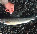 Grayling fish.jpg