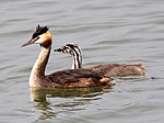 Great Crested Grebe (Podiceps cristatus) (14).JPG