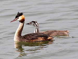 Great crested grebe - Image: Great Crested Grebe (Podiceps cristatus) (14)
