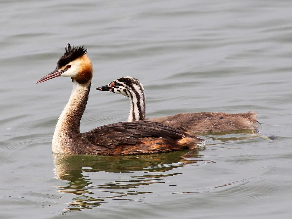 Great Crested Grebe (Podiceps cristatus) (14)