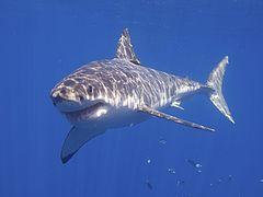 Great White Shark (14730719119).jpg