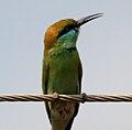 Green Bee-eater (Merops orientalis) in Hyderabad W IMG 5677.jpg
