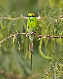 Green Bee-eater - Flickr - Lip Kee.jpg