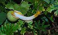Green Snail (Amphidromus atricallosus perakensis) (8688575103).jpg