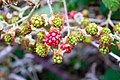 Green and red Rubus fruit (185717609).jpg