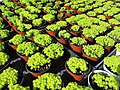 Green in Terra Cotta (20564493019).jpg