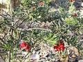 Grevillea alpina (5059175691).jpg