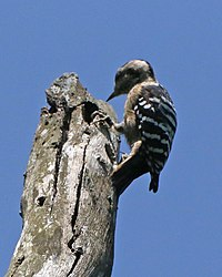 Grey-capped Woodpecker (Picoides canicapillus) (21626301482).jpg