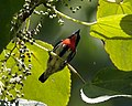 Grey-sided Flowerpecker, Dicaeum celebicum celebicum - Male - Flickr - Lip Kee.jpg