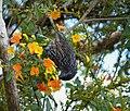 Grey-streaked Honeyeater. Ptiloprora perstriata (48665438793).jpg