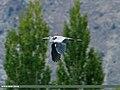 Grey Heron (Ardea cinerea) (22239807869).jpg