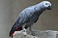 Grey Parrot (Lahore Zoo) by Damn Cruze.jpg