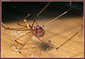 Große Zitterspinne frisst Käfer.jpg