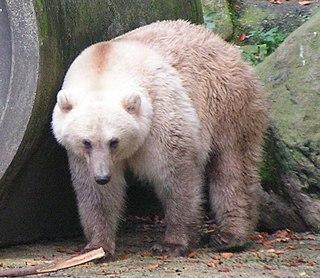 Grizzly–polar bear hybrid hybrid between polar bear and grizzly bear