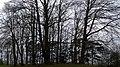 Grove of trees, Waddesdon Manor - geograph.org.uk - 775644.jpg