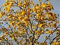 Guayacán amarillo (Tabebuia chrysantha) (14275789041).jpg