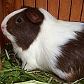 Guinea pig with brown and white fur.jpg