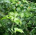 Gurania reticulata (4) (28150091019).jpg