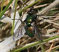 Gymnocheta viridis - Flickr - S. Rae (2).jpg