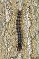 Gypsy Moth (Lymantria dispar) Larva - Guelph, Ontario.jpg