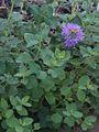 H20130909-9891—Monardella villosa—Katherine Greenberg (9780615966).jpg