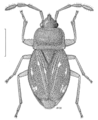 HEMI Lygaeidae Forsterocoris sinuatus.png