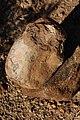 Hadrosaur bone in the Aguja Formation by Nick Longrich.jpg