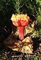 Haemanthus sanguineus flower Blaauwberg CapeTown 3.JPG