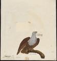 Haliastur indus - 1782-1825 - Print - Iconographia Zoologica - Special Collections University of Amsterdam - UBA01 IZ18100348.tif