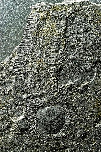 Sirius Passet - Halkieria, an iconic fossil of the Sirius Passet