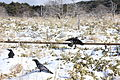 Hallasan Raven .jpg