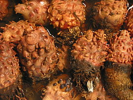 Halocynthia roretzi-Sea pineapples at Tsukiji Market-01.jpg
