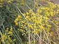 Haplophyllum tuberculatum 1.jpg