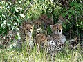 Happy cheetahs family.Maasai Mara National Park. - panoramio.jpg