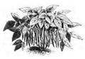 Haricot noir de Belgique Vilmorin-Andrieux 1883.png