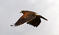 Harris Hawk 2c (6797996608).jpg