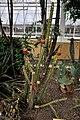 Harrisia bonplandii (Cactaceae) Nationale Plantentuin Meise 10-01-2010 14-48-38.JPG