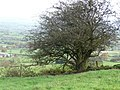 Hawthorn in a field boundary - geograph.org.uk - 1564220.jpg